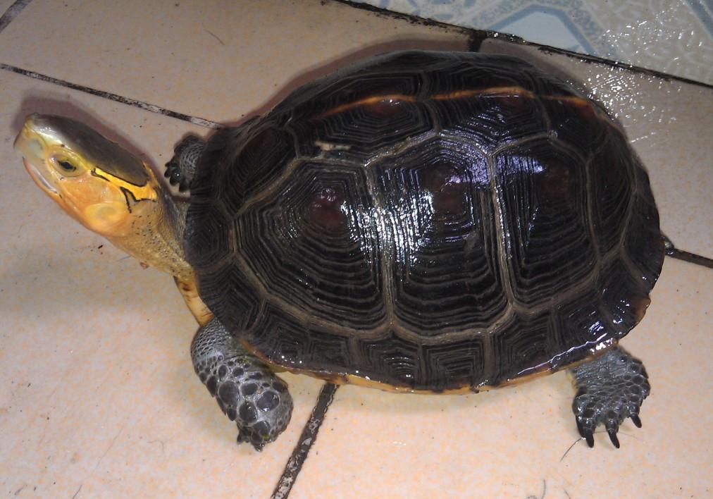黄缘闭壳龟是水龟还是陆龟