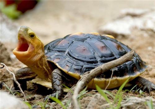 黄缘闭壳龟可以深水养吗
