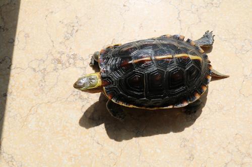 黄缘闭壳龟保护级别 黄缘闭壳龟是几级保护动物
