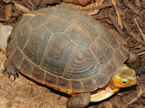 黄缘闭壳龟怎么冬眠