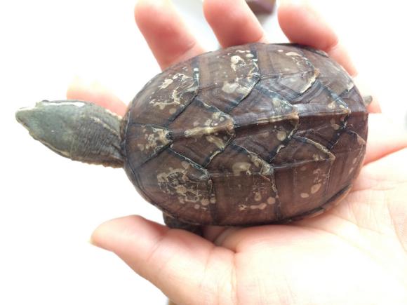 迷你麝香龟可以深水吗 迷你麝香龟可以深水养吗