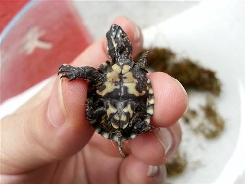 迷你麝香龟好养吗