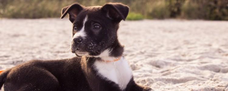 狗狗抑郁症的表现症状
