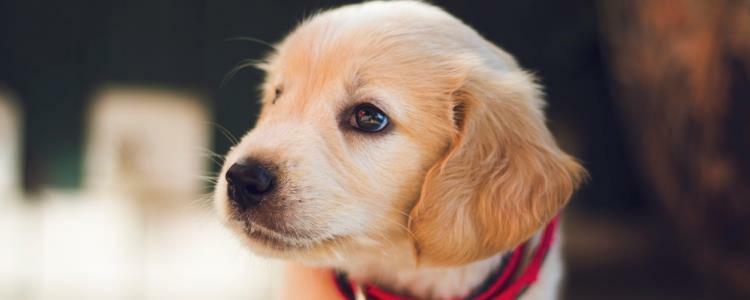 狗狗细小后期症状