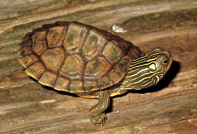 地图龟浮水怎么快速治疗