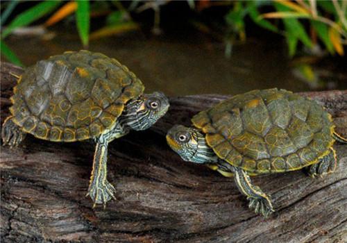 地图龟肺炎怎么治