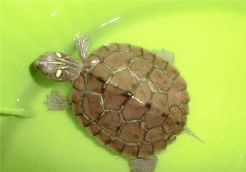 地图龟喜欢晒背吗 地图龟爱晒背吗