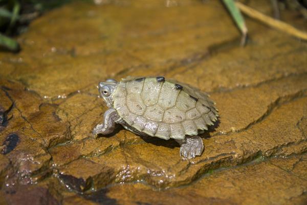 地图龟可以和鱼混养吗 地图龟能和鱼混养吗