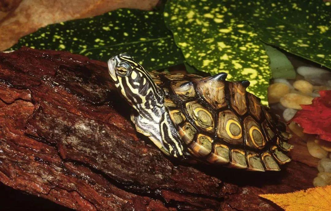 地图龟吃鱼吗 地图龟喂食放水里吗?