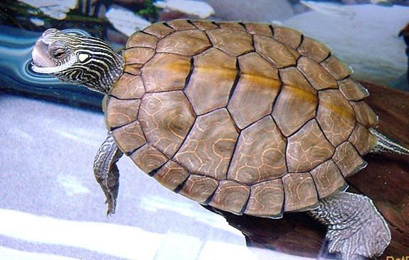地图龟能长多大 地图龟最大能长多大