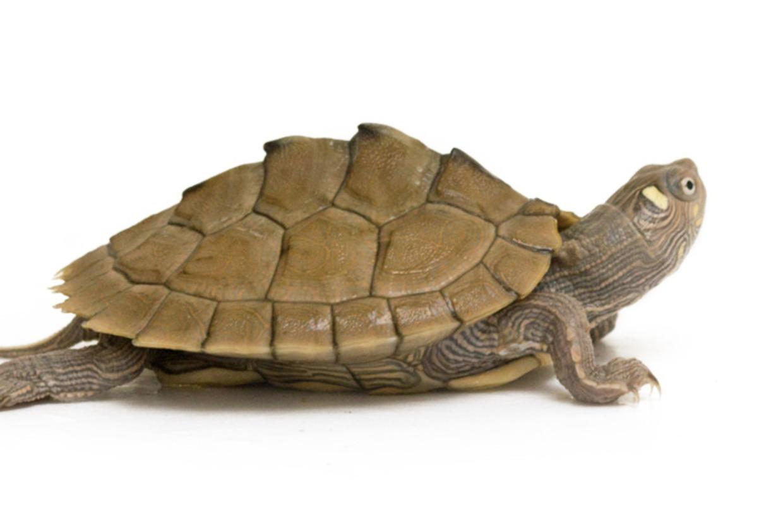 地图龟凶吗 地图龟凶不凶