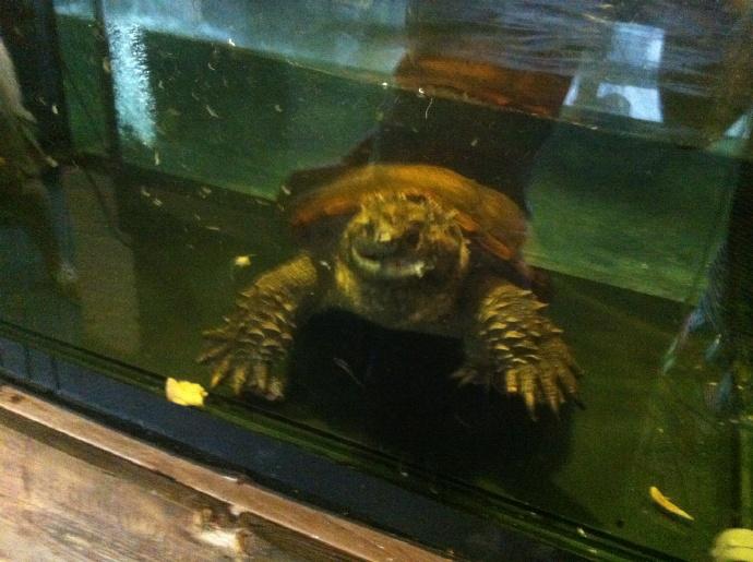 佛州拟鳄龟生活环境