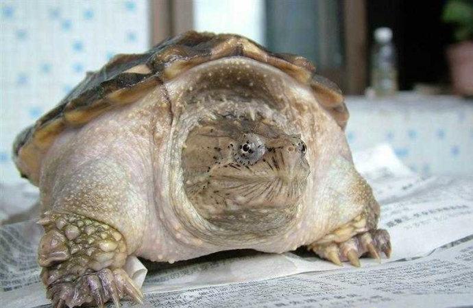 佛州拟鳄龟吃什么