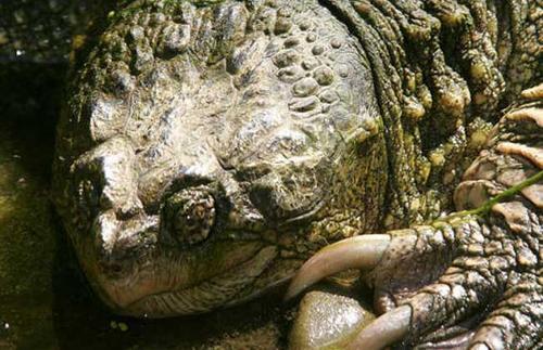 佛州拟鳄龟好还是北美拟鳄龟好