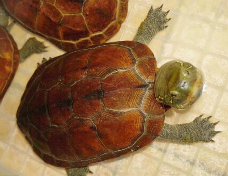 大头乌龟怎么会追人