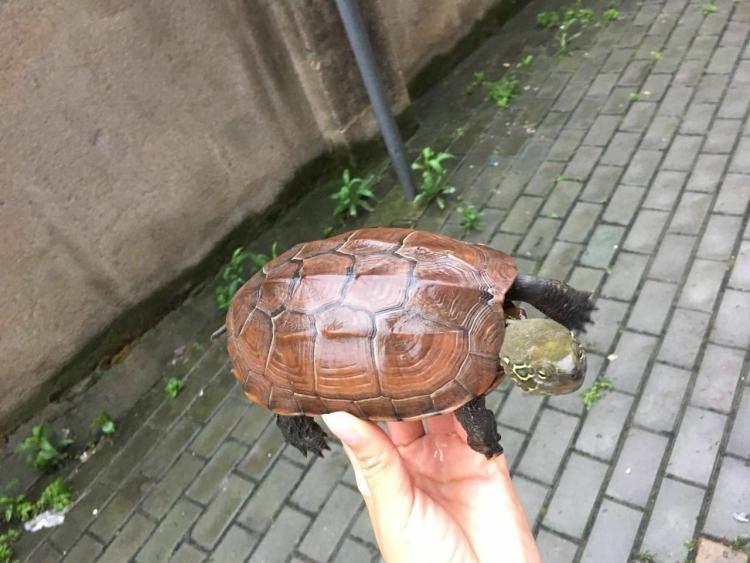 大头乌龟是几级保护动物
