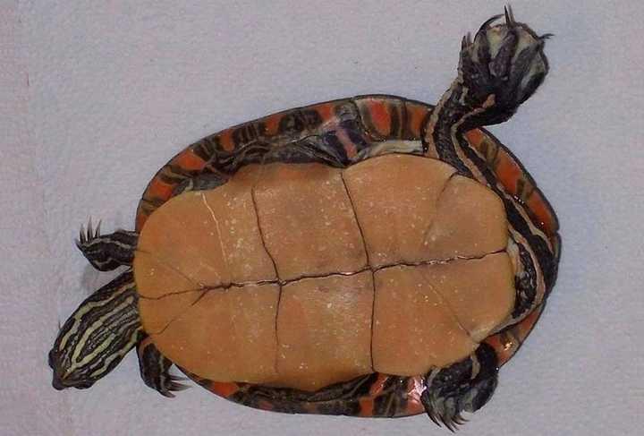 西部锦龟好养吗