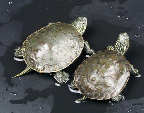西部锦龟的饲养