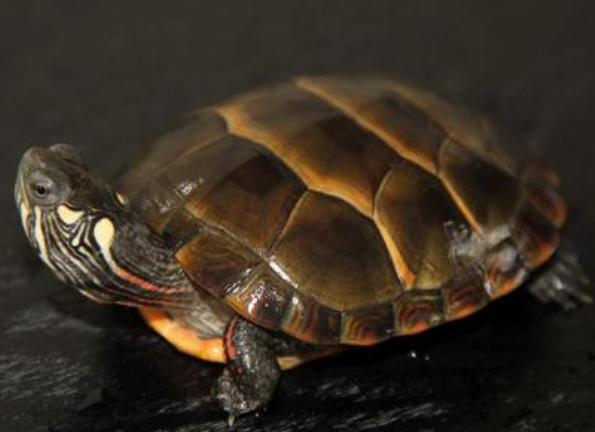 西部锦龟是深水龟吗