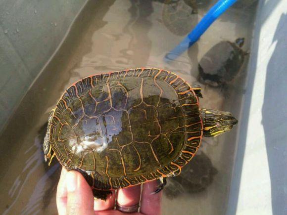 西部锦龟可以深水养吗 西部锦龟能深水饲养吗
