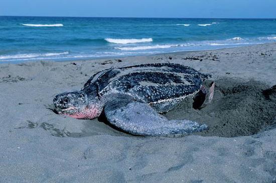 棱皮龟寿命 棱皮龟的寿命是多少年