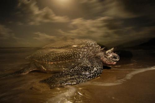 棱皮龟是体型最小的海龟吗