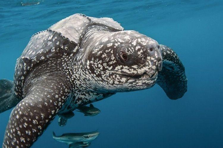棱皮龟能活多久 棱皮龟能活多少岁