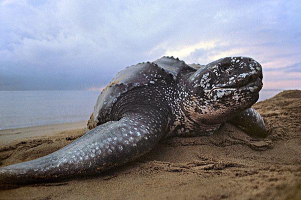 棱皮龟好养吗