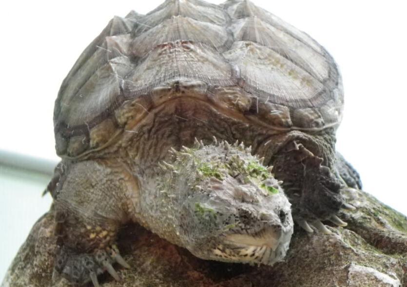 南美拟鳄龟和北美拟鳄龟的区别