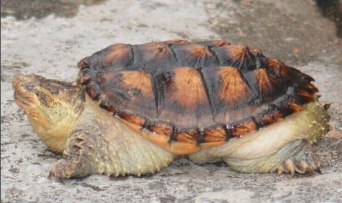 南美拟鳄龟凶猛吗 南美拟鳄龟凶吗