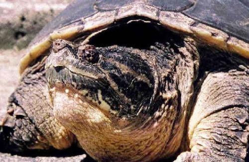 南美拟鳄龟如何变得凶猛