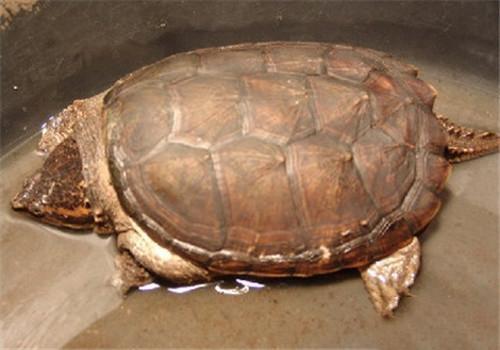 南美拟鳄龟怎么养
