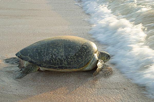 绿海龟喜欢吃水草吗