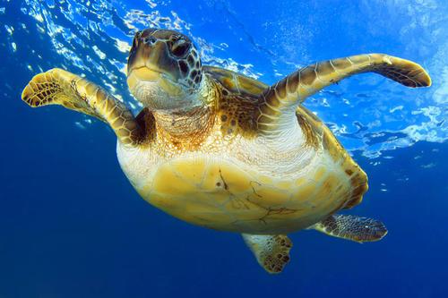 绿海龟腐皮怎么办 绿海龟腐皮怎么治