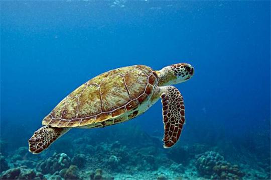 绿海龟寓意 绿海龟的寓意