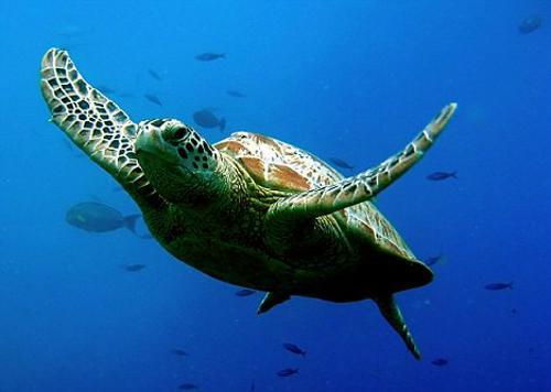 绿海龟能活多少年