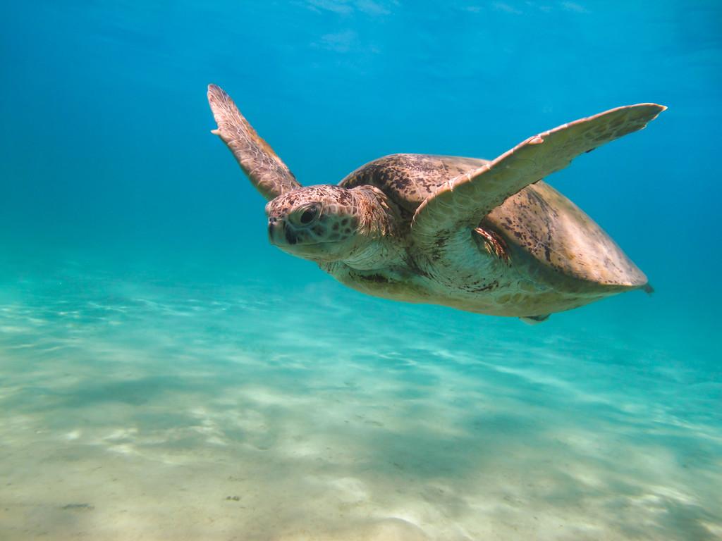 绿海龟主要吃什么食物