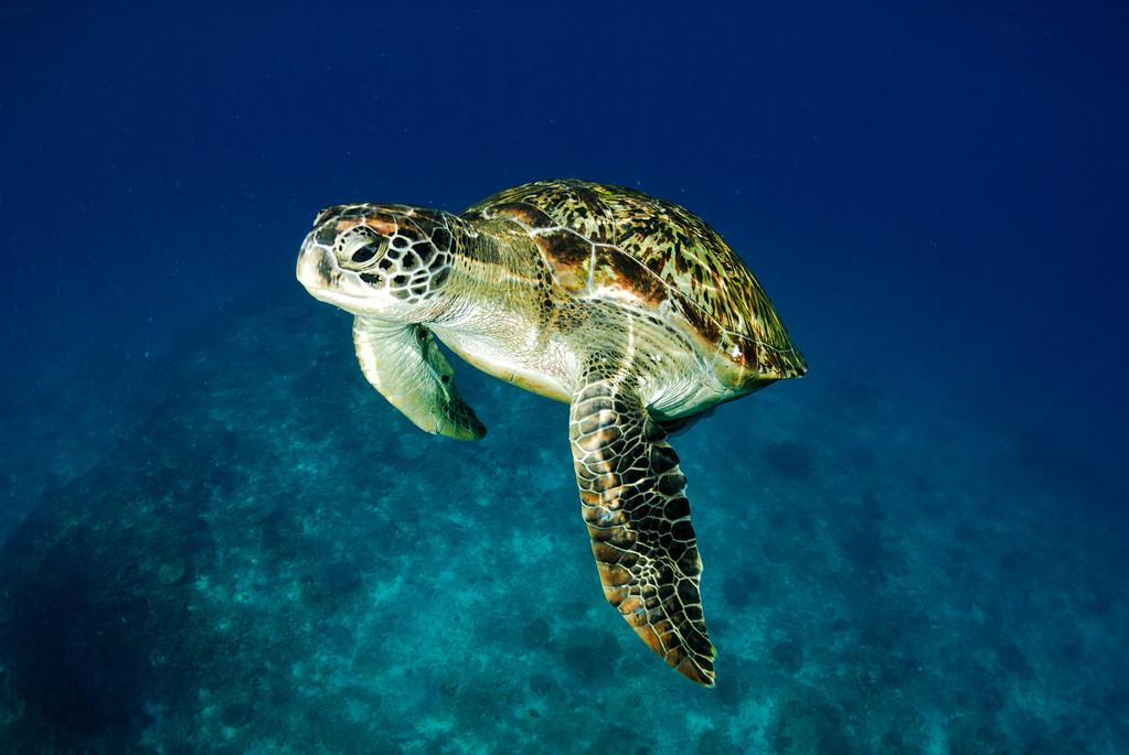 绿海龟喜欢吃什么食物 绿海龟爱吃什么