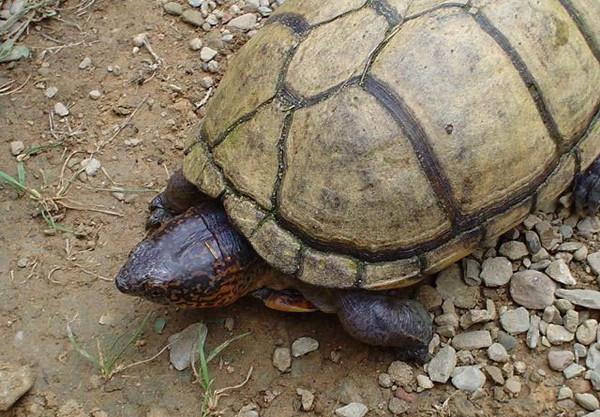 亚马逊泥龟的寿命