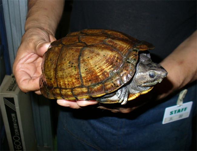 亚马逊泥龟饲养方法