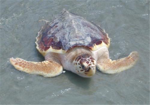 太平洋丽龟吃什么