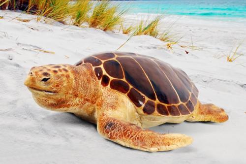 太平洋丽龟多少钱一只
