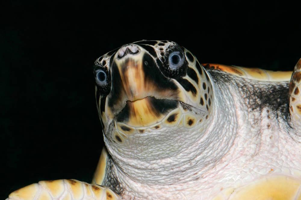 太平洋丽龟是几级保护动物 太平洋丽龟是国家几级保护动物