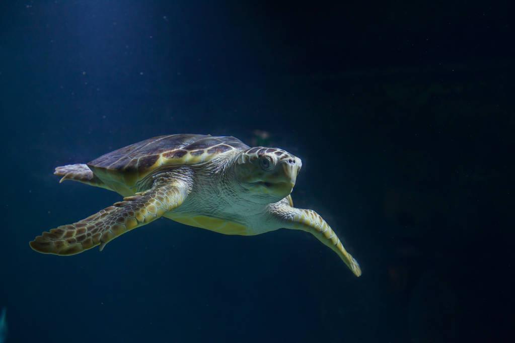 太平洋丽龟成年有多重