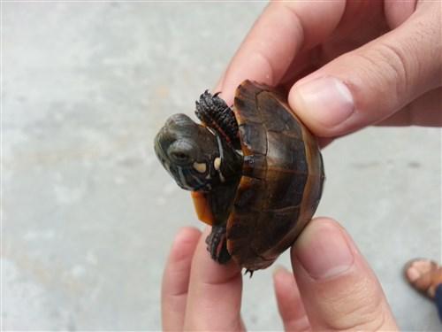 红纹锦龟价钱 红纹锦龟价格