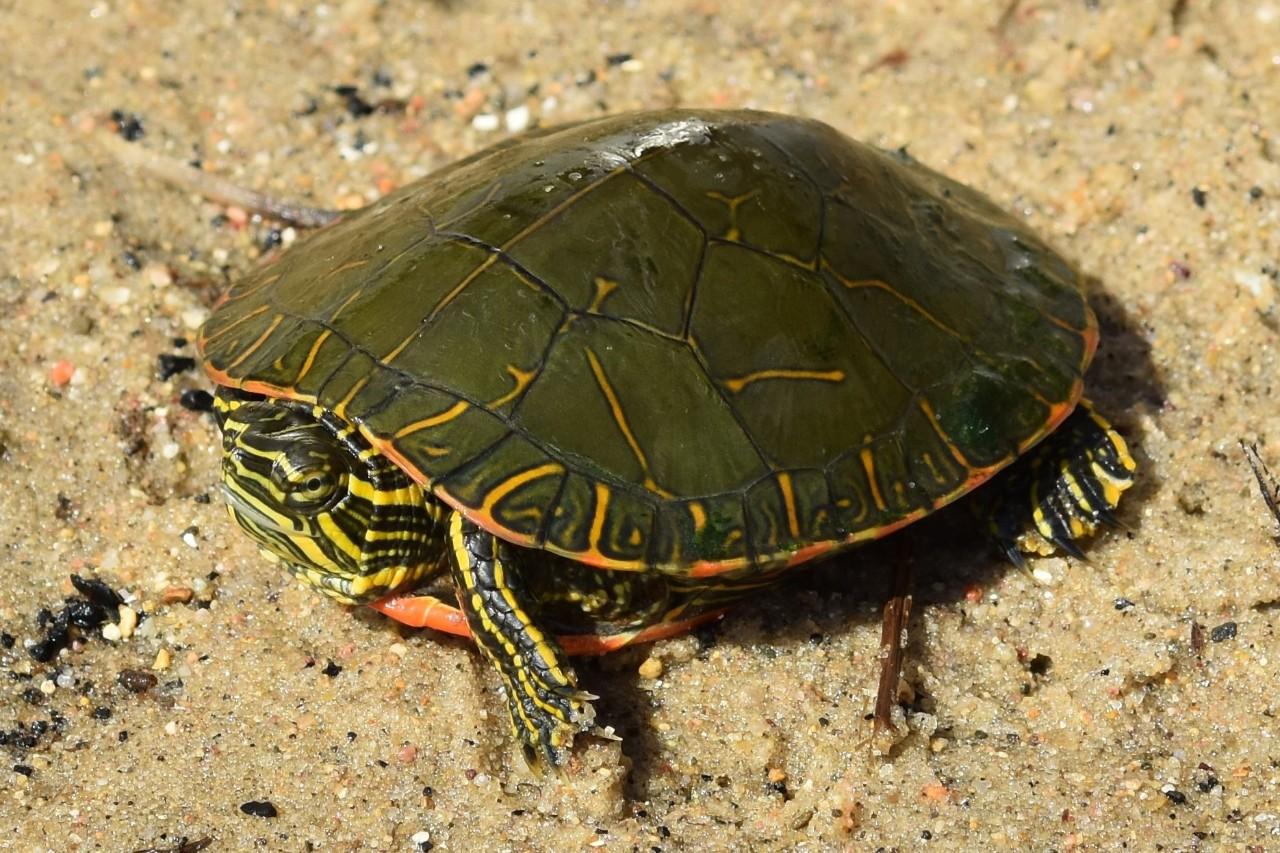 红纹锦龟的价格 红纹锦龟价钱?