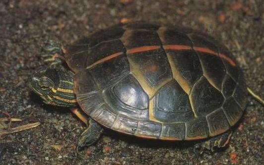 红纹锦龟的寿命 红纹锦龟寿命