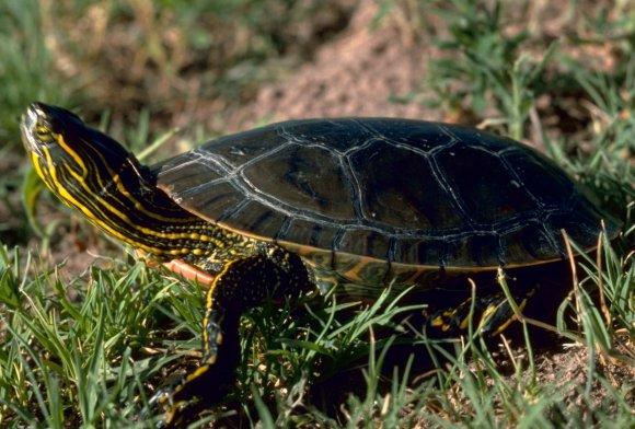 红纹锦龟能长多大