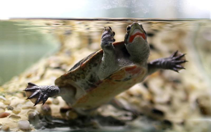 红腹短颈龟可以和鱼一起混养吗