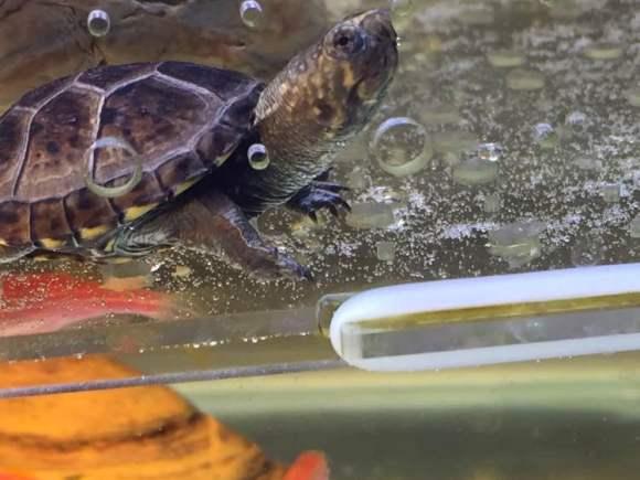 东方泥龟寿命多长